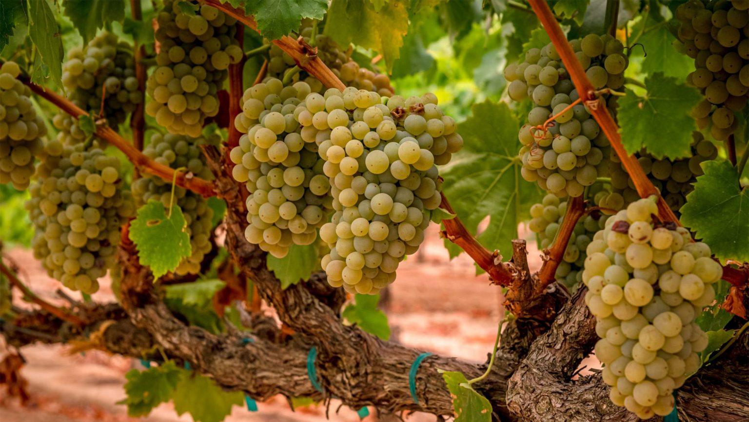 SFD_Picpoul_Harvest_CO_Acquiesce-Winery_Hero_2_2520x1420-1536x866